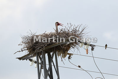 White Stork (Ciconia ciconia) panting in the heat of the sun on its power pylon nesting site, Almaraz, Extremadura, Spain