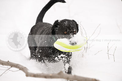 snowy black dog carrying frisbee in winter