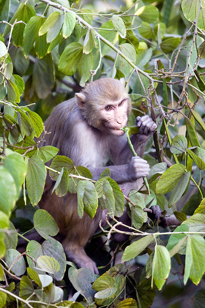 India - New Delhi - A monkey sits in a tree in a suburban street