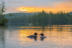 Kissing Loons (horizontal)