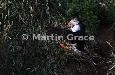 Atlantic or Common Puffin (Fratercula arctica) returning with fish to its nesting burrow, Hafnarholmi, Borgarfjordur Eystri, Austurland, Iceland