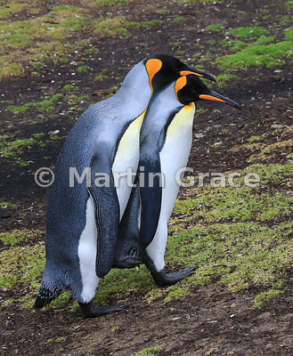 One King Penguin (Aptenodytes patagonicus) behaving amorously towards another, Volunteer Point, East Falkland, Falkland Islands