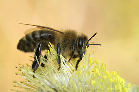 Apis mellifera - European honeybee on Salix species