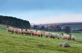 Sheep on a livestock farm on a cold autumn, winters morning in County Durham, England, UK.