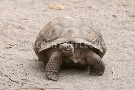 galapagos_giant_tortoise_young_24