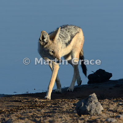 Black-Backed or Silver-Backed Jackal (Canis mesomelas) caught in the early morning sun, Etosha, Namibia