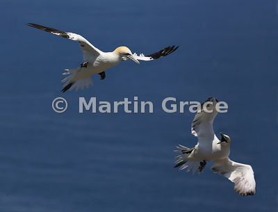 Two Northern Gannets (Morus bassanus) in flight, one reacting with fear or aggression, Bempton Cliffs (RSPB), East Riding of Yorkshire, England
