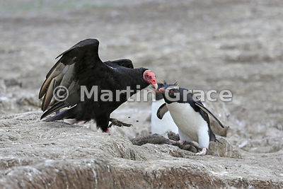Turkey Vulture (Cathartes aura) being seen off by a Southern Rockhopper Penguin (Eudyptes chrysocome chrysocome), Cape Coventry, Pebble Island