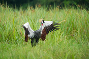 Grey Crowned Crane (Balearica regulorum), Murchison Falls National Park, Uganda