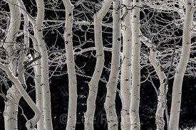 Trembling Aspens after Leaves have Fallen  in Great Basin National Park