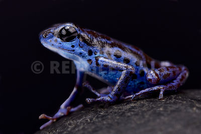 "Blue strawberry dart frog (Oophaga pumilio) ""Rio Colubre"" photos"