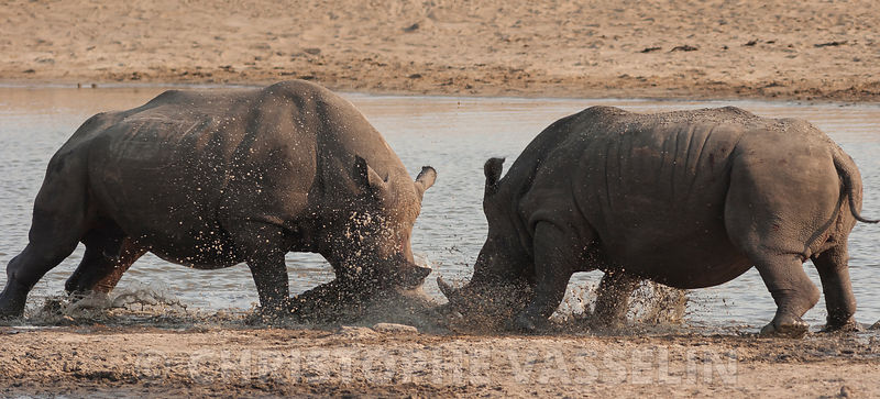 Black rhino fight