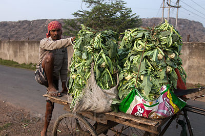 Farmers transporting cauliflower on old three-wheel motorcycles pass in front of the Dhapa Dumping Grounds, the primary landfill for Kolkata, India.