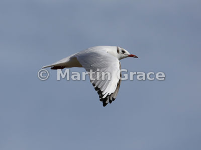 Flying Black-Headed Gull (Larus (Chroicocephalus) ridibundus) in non-breeding plumage, Greenodd, Cumbria, England, September 13