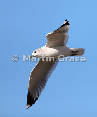 Adult Common Gull (Mew Gull) (Larus canus) in winter plumage, in flight, Hest Bank, Lancashire