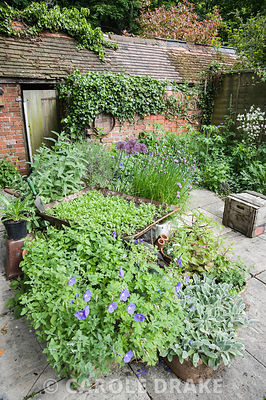 A group of containers including a wheelbarrow, a belfast sink and tin olive oil containers in the centre of the garden are planted with insect friendly plants including chives, marigolds, alliums, Stachys byzantina 'Big Ears' and hardy geraniums.