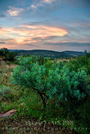 An indigenous protea tree in  highveld vegetation, bush-covered valley and hills in the distance, sunset lighting up clouds in the sky. Vredefort Dome World Heritage Site, Freesate and Northwest Province, South Africa.