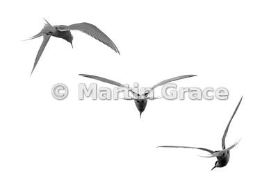 Photo-montage of three different black-and-white images of the same Arctic Tern (Sterna paradisaea), Svalbard