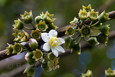 Flower of the (sp.) tree, growing in regeneration forest in an old pasture, Las Nubes, Costa Rica