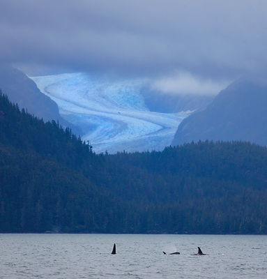 Orcas feeding in the rich waters of Favorite Channel off of Juneau, Alaska.  Eagle Glacier looms in the background. August 2011.