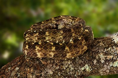 Speckled Forest PitViper on Tree Branch