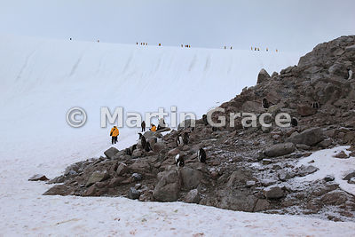Gentoo Penguin colony with ecotourists on mainland of Antarctic Peninsula at Neko Harbour, Andvord Bay