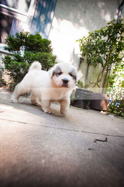 curious small white puppy dog walking on concrete patio at house