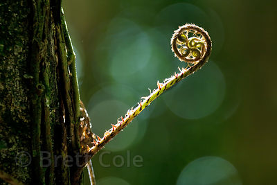 Fern fiddlehead in forest along the Tambopata River, Peruvian Amazon