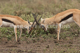 thomsons_gazelle_battle_42