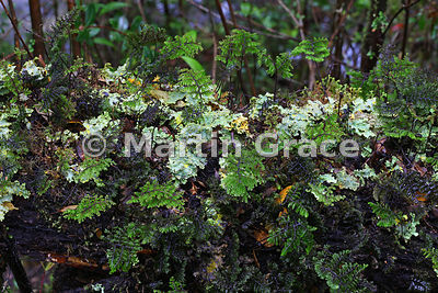 Bryophytes (mosses and liverworts) growing on a fallen log in Parque Nacional Vicente Perez Rosales, Los Lagos, Chile