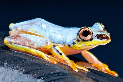 White tree frog (Heterixalus madagascariensis) photos