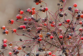 Wild Rose Hips and Raindrops along Boundary Bay Trail
