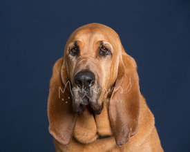 Redbone Coon Hound Dog Studio Portrait Against Blue Background