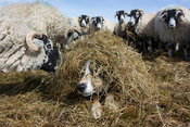Sheepdog hiding under silage, surrounded by sheep eating, Cumbria, UK.