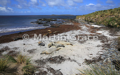 Southern Elephant Seals (Mirounga leonina) sleeping on the beach, Elephant Corner, Sea Lion Island, Falkland Islands