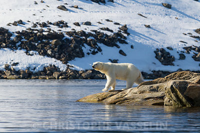 Polar bear on the bank