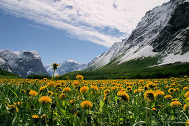 Field of bright dandelion flowers under snow-capped mountains