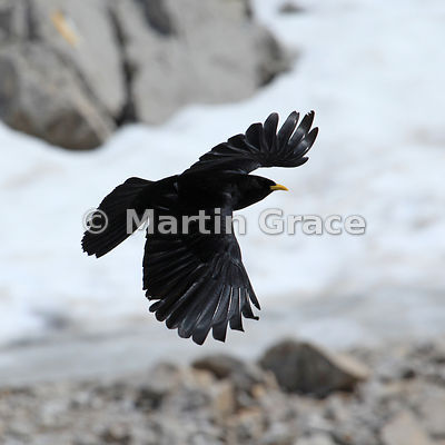 Cropped version of the previous image of an Alpine or Yellow-Billed Chough (Pyrrhocorax graculus) in flight, Picos de Europa, Cantabria, Spain