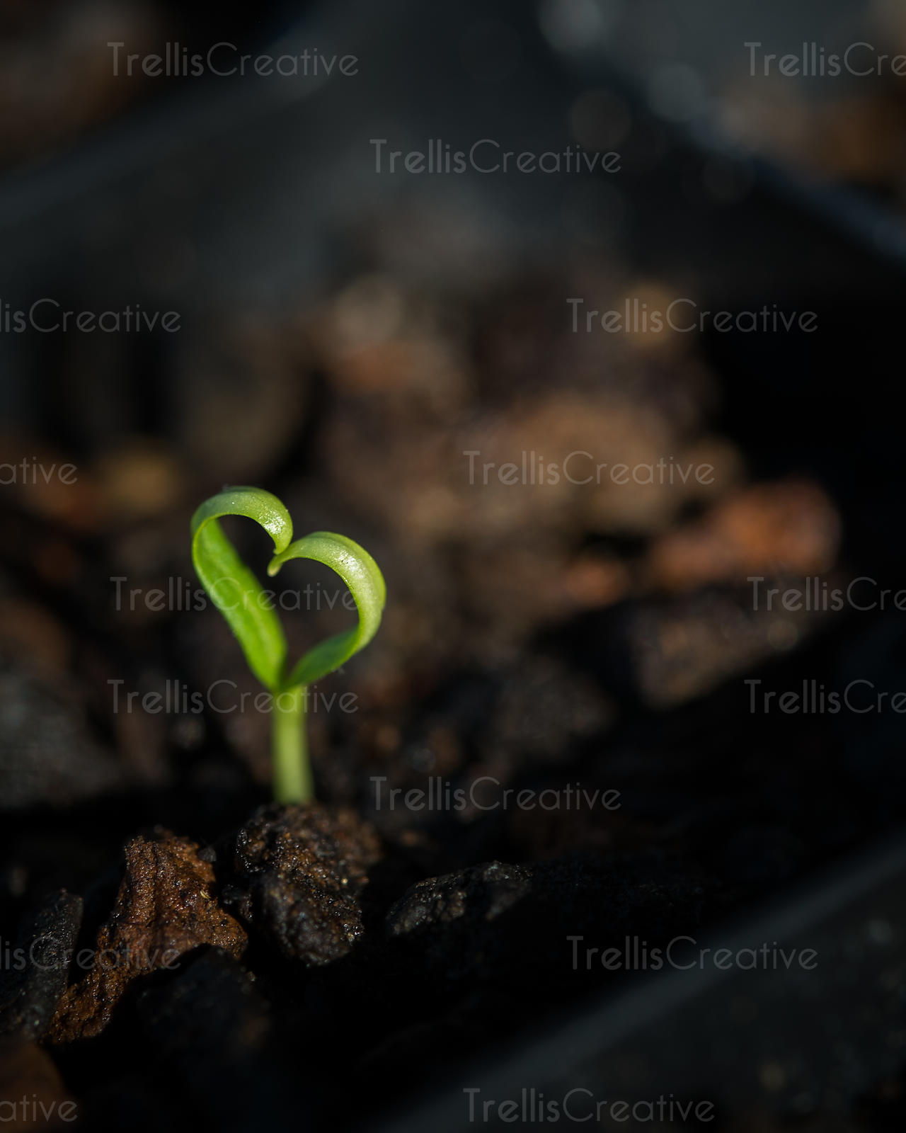 Close-up of seedling forming a heart shape growing in soil