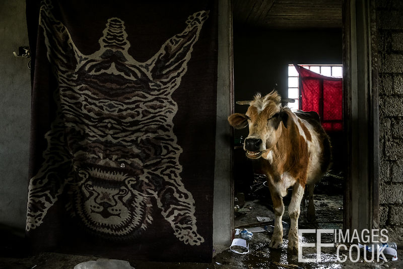 A smiling cow occupies a house in Badush, 1st May 2017