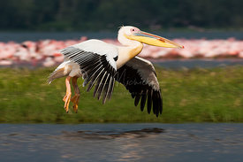 Pelican flying over lake Nakuru