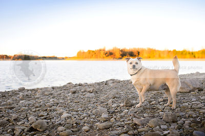 small chubby blond dog standing on beach