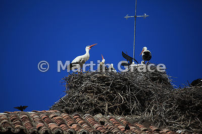 White Storks (Ciconia ciconia) nesting on a church tower at Piedrahita, Castilla y Leon, Spain