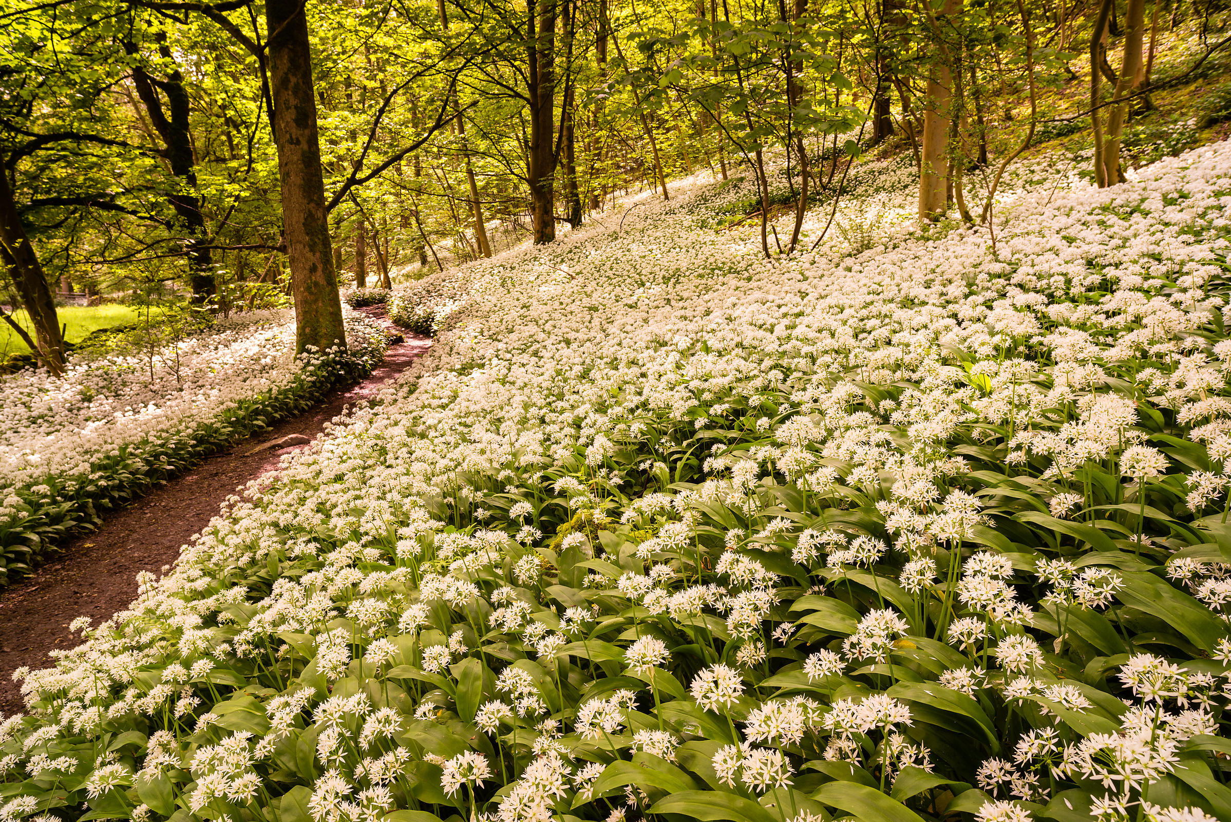 Wild garlic wood