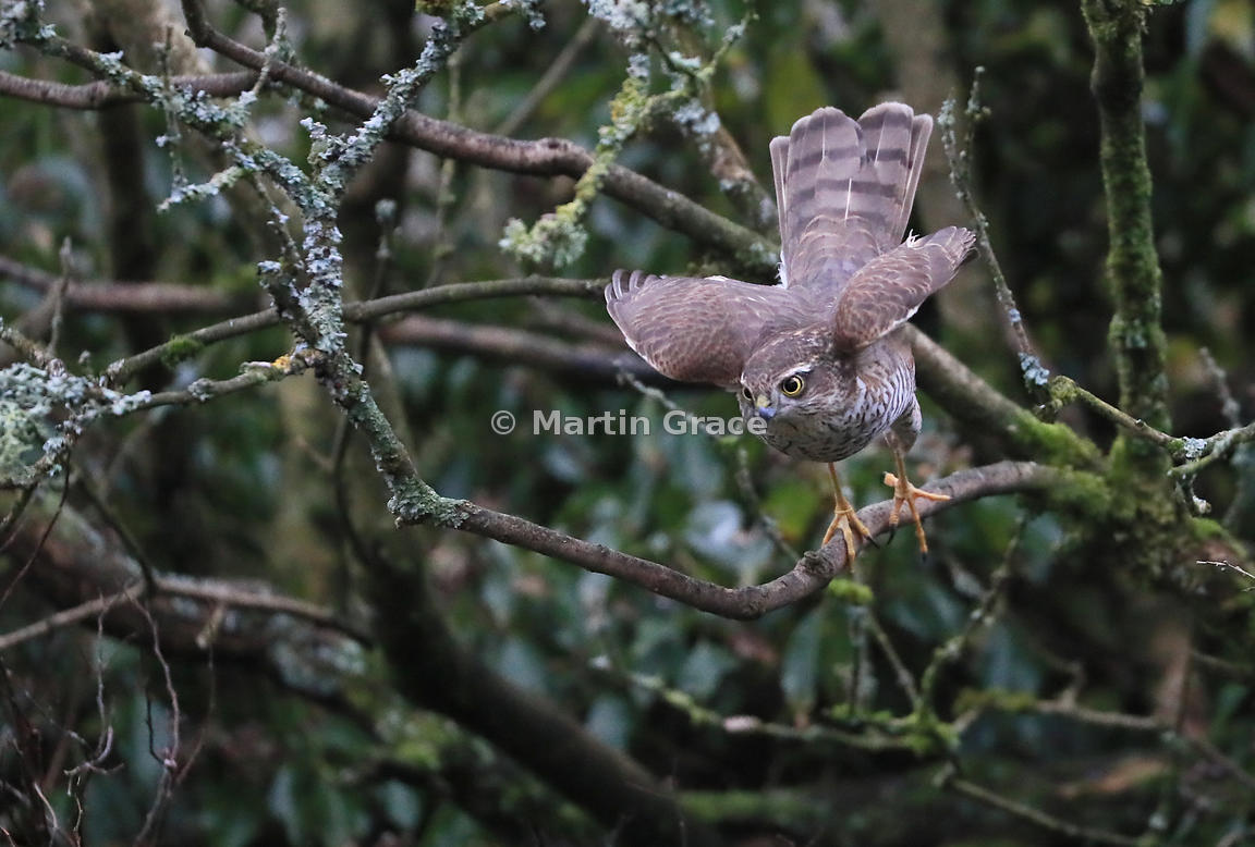 Juvenile male Eurasian Sparrowhawk (Accipiter nisus) taking off, Lake District National Park, Cumbria, England