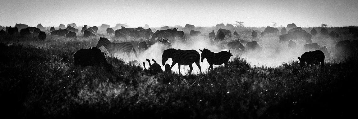 5035-Zebras_in_the_dust_Laurent_Baheux