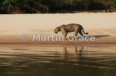Female Jaguar 'Hunter' walks along the edge of Three Brothers River, Northern Pantanal, Mato Grosso, Brazil. Image 26 of 62; elapsed time 39mins