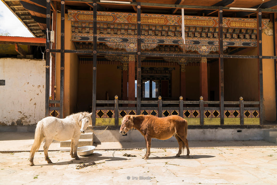 Horses at Gangteng Monastery, generally known as Gangtey Gonpa or Gangtey Monastery in the Wangdue Phodrang District in central Bhutan. .It is an important monastery of Nyingmapa school of Buddhism, the main seat of the Pema Lingpa tradition.