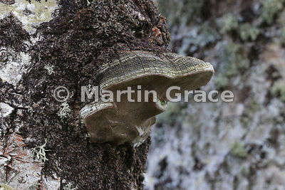 Aspen Bracket Fungus (Phellinus tremulae) on Aspen trunk (Populus tremula), Badenoch & Strathspey, Scottish Highlands