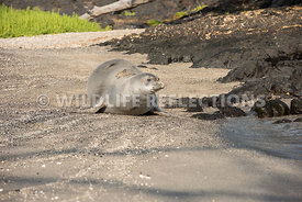 hawaiian_monk_seal_big_island_02062015-150